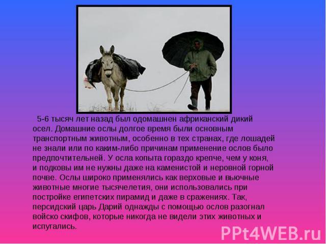 5-6 тысяч лет назад был одомашнен африканский дикий осел. Домашние ослы долгое время были основным транспортным животным, особенно в тех странах, где лошадей не знали или по каким-либо причинам применение ослов было предпочтительней. У осла копыта г…