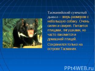 Тасманийский сумчатый дьявол – зверь размером с небольшую собаку. Очень силен и
