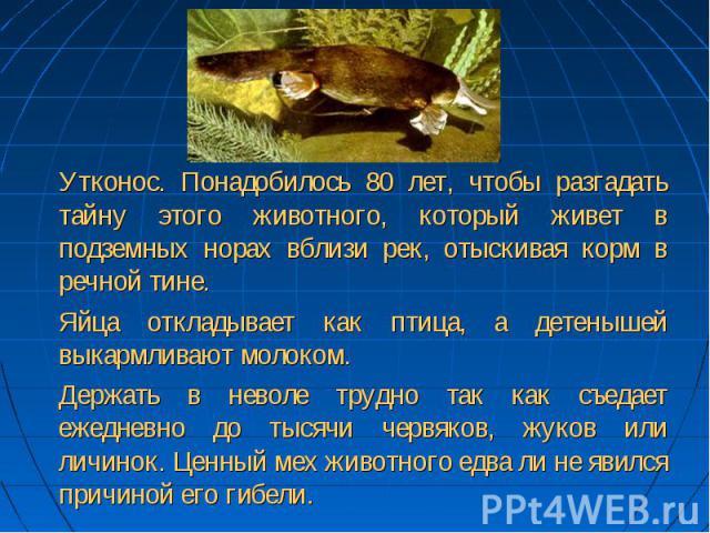 Утконос. Понадобилось 80 лет, чтобы разгадать тайну этого животного, который живет в подземных норах вблизи рек, отыскивая корм в речной тине. Яйца откладывает как птица, а детенышей выкармливают молоком. Держать в неволе трудно так как съедает ежед…
