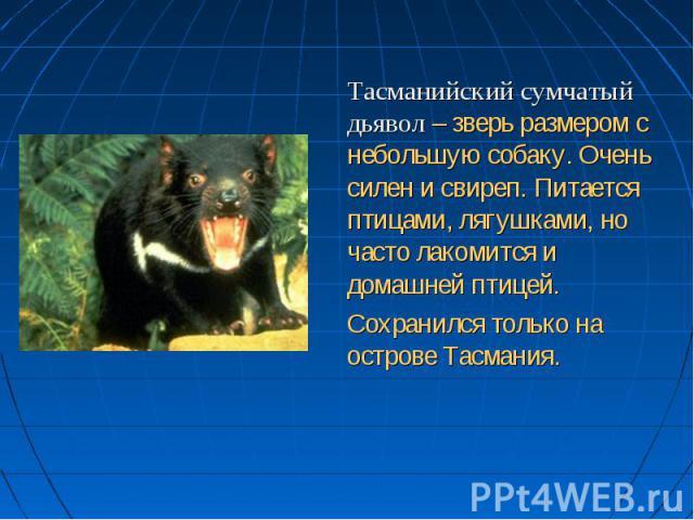 Тасманийский сумчатый дьявол – зверь размером с небольшую собаку. Очень силен и свиреп. Питается птицами, лягушками, но часто лакомится и домашней птицей. Сохранился только на острове Тасмания.