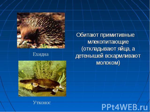 Обитают примитивные млекопитающие (откладывают яйца, а детенышей вскармливают молоком) Ехидна Утконос