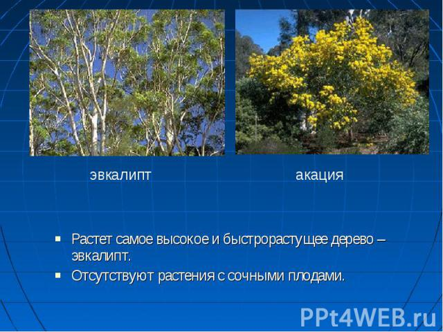 Растет самое высокое и быстрорастущее дерево – эвкалипт. Растет самое высокое и быстрорастущее дерево – эвкалипт. Отсутствуют растения с сочными плодами. Отсутствуют растения с сочными плодами. эвкалиптакация