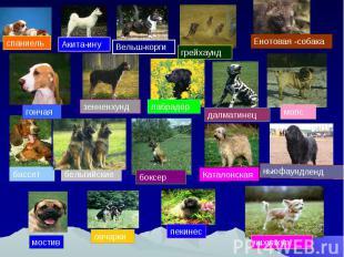 спаниель Енотовая -собака зенненхундлабрадор мопс ньюфаундленд бассетбельгийские