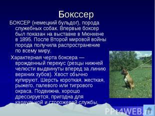 Бокссер БОКСЕР (немецкий бульдог), порода служебных собак. Впервые боксер был по