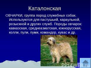 Каталонская ОВЧАРКИ, группа пород служебных собак. Используются для пастушьей, к