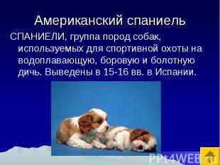 Американский спаниель СПАНИЕЛИ, группа пород собак, используемых для спортивной