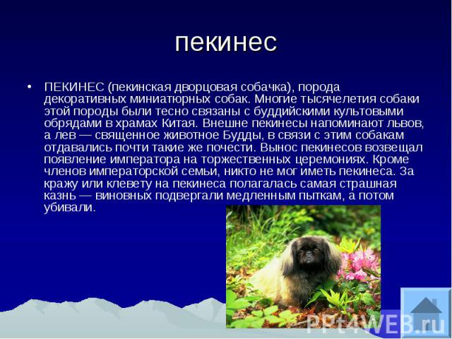 пекинес ПЕКИНЕС (пекинская дворцовая собачка), порода декоративных миниатюрных собак. Многие тысячелетия собаки этой породы были тесно связаны с буддийскими культовыми обрядами в храмах Китая. Внешне пекинесы напоминают львов, а лев священное животн…