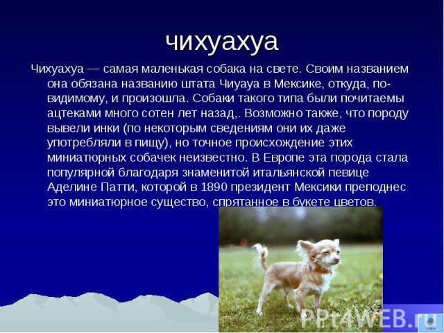 чихуахуа Чихуахуа самая маленькая собака на свете. Своим названием она обязана названию штата Чиуауа в Мексике, откуда, по- видимому, и произошла. Собаки такого типа были почитаемы ацтеками много сотен лет назад,. Возможно также, что породу вывели и…
