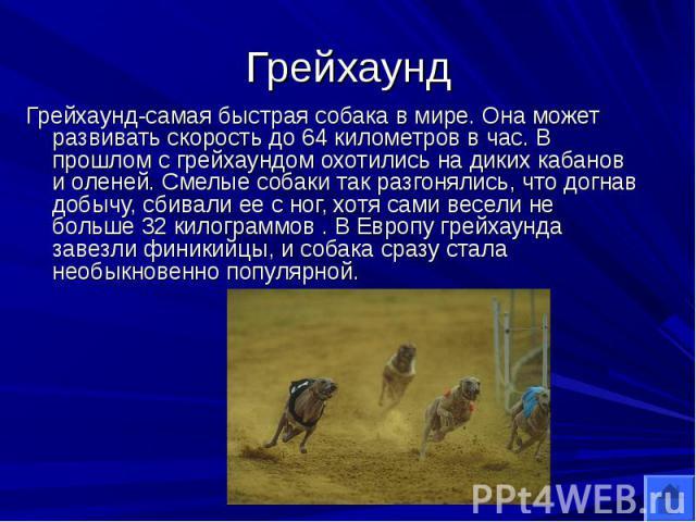 Грейхаунд Грейхаунд-самая быстрая собака в мире. Она может развивать скорость до 64 километров в час. В прошлом с грейхаундом охотились на диких кабанов и оленей. Смелые собаки так разгонялись, что догнав добычу, сбивали ее с ног, хотя сами весели н…