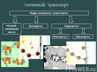 Активный транспорт Виды активного транспорта Натрий- калиевый насос ЭкзоцитозЭнд