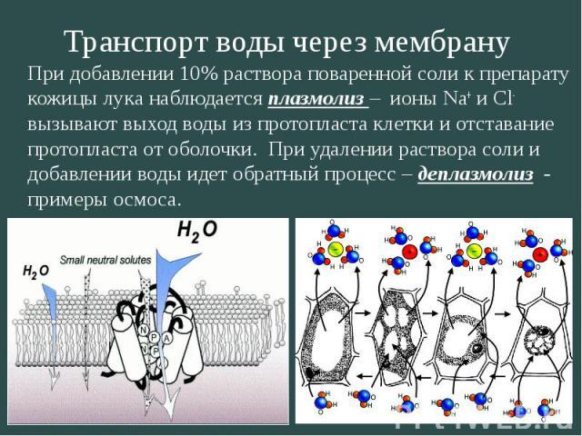 Транспорт воды через мембрану При добавлении 10% раствора поваренной соли к препарату кожицы лука наблюдается плазмолиз – ионы Na + и Сl - вызывают выход воды из протопласта клетки и отставание протопласта от оболочки. При удалении раствора соли и д…