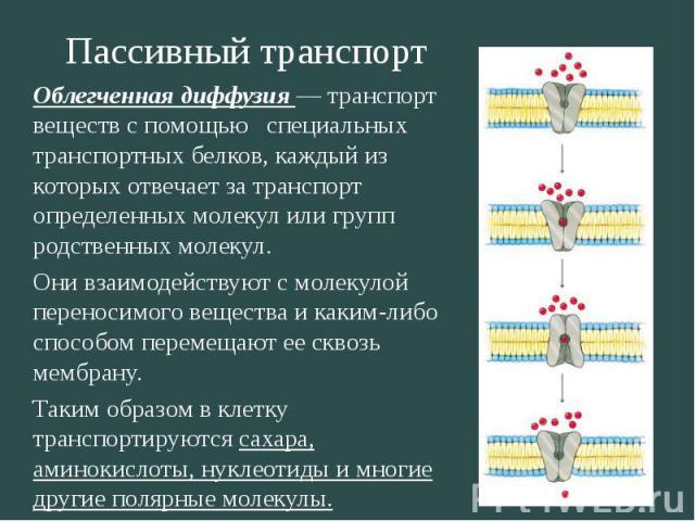 Пассивный транспорт Облегченная диффузия транспорт веществ с помощью специальных транспортных белков, каждый из которых отвечает за транспорт определенных молекул или групп родственных молекул. Они взаимодействуют с молекулой переносимого вещества и…
