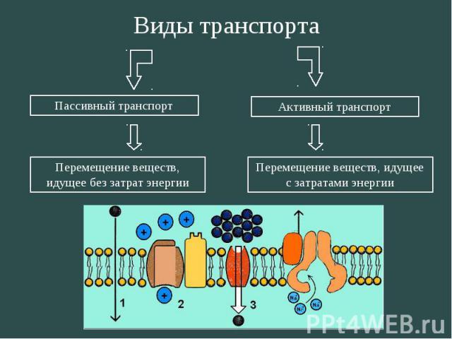 Пассивный транспорт Активный транспорт Перемещение веществ, идущее без затрат энергии Перемещение веществ, идущее с затратами энергии Виды транспорта
