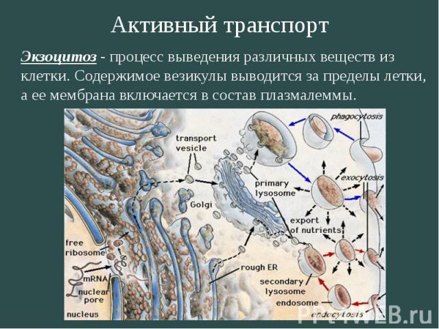 Активный транспорт Экзоцитоз - процесс выведения различных веществ из клетки. Содержимое везикулы выводится за пределы летки, а ее мембрана включается в состав плазмалеммы.