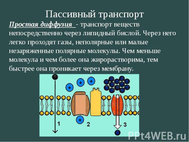Пассивный транспорт Простая диффузия - транспорт веществ непосредственно через липидный бислой. Через него легко проходят газы, неполярные или малые незаряженные полярные молекулы. Чем меньше молекула и чем более она жирорастворима, тем быстрее она …