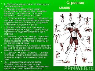 1. Двуглавая мышца плеча. Сгибает руку в локтевом суставе.1. Двуглавая мышца пле