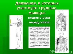Движения, в которых участвуют грудные мышцы: поднять руки поднять руки перед соб