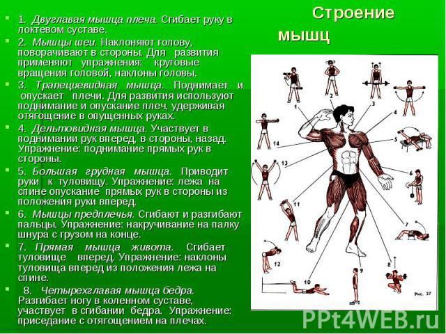 1. Двуглавая мышца плеча. Сгибает руку в локтевом суставе.1. Двуглавая мышца плеча. Сгибает руку в локтевом суставе.2. Мышцы шеи. Наклоняют голову, поворачивают в стороны. Для развития применяют упражнения: круговые вращения головой, наклоны головы.…