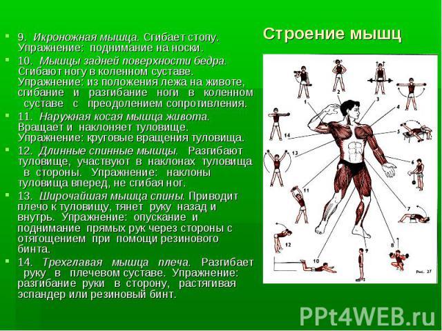 9. Икроножная мышца. Сгибает стопу. Упражнение: поднимание на носки.9. Икроножная мышца. Сгибает стопу. Упражнение: поднимание на носки.10. Мышцы задней поверхности бедра. Сгибают ногу в коленном суставе. Упражнение: из положения лежа на животе, сги…