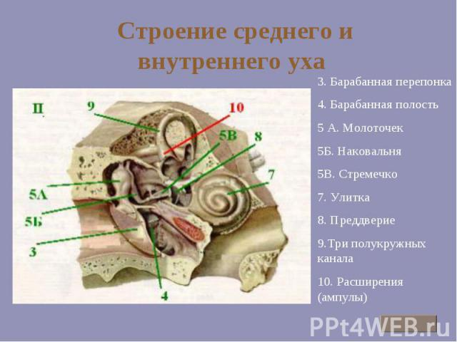 Строение среднего и внутреннего уха 3. Барабанная перепонка 4. Барабанная полость 5 А. Молоточек 5Б. Наковальня 5В. Стремечко 7. Улитка 8. Преддверие 9.Три полукружных канала 10. Расширения (ампулы)