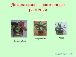 Декоративно – лиственные растения Ход исследования Бегония Рекс Диффенбахия Агав