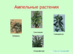 Ампельные растения Ход исследования Зебрина Сциндапсус Сингониум Хлорофитум