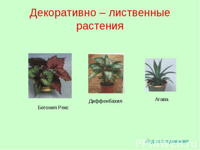 Декоративно – лиственные растения Ход исследования Бегония Рекс Диффенбахия Агава