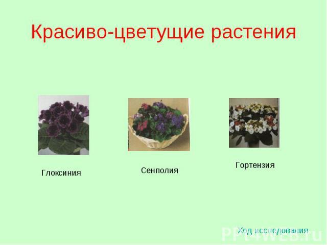 Красиво-цветущие растения Ход исследования Глоксиния Сенполия Гортензия