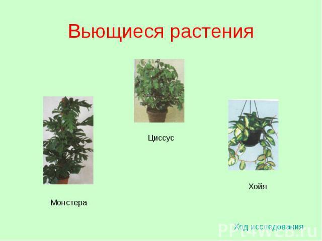 Вьющиеся растения Ход исследования Монстера Циссус Хойя
