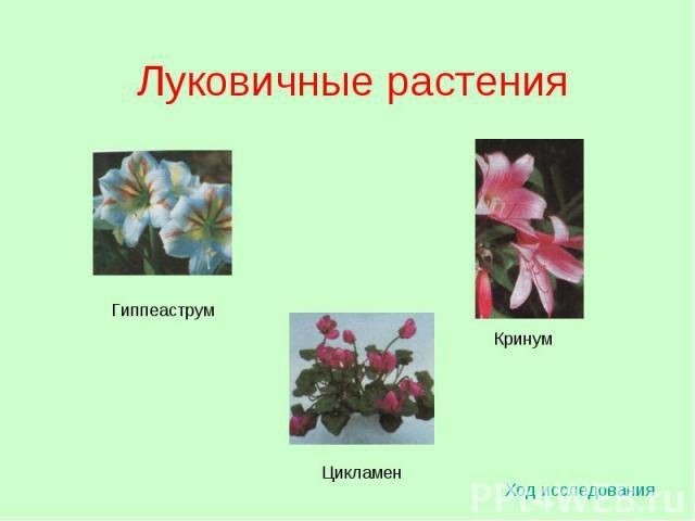 Луковичные растения Ход исследования Гиппеаструм Цикламен Кринум