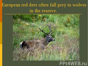 European red deer often fall prey to wolves in the reserve.