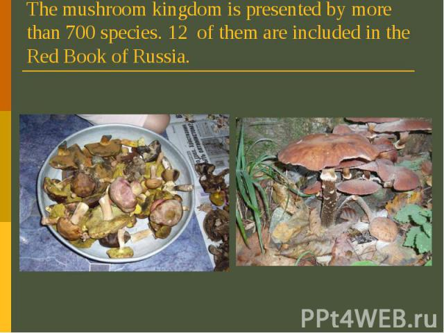 The mushroom kingdom is presented by more than 700 species. 12 of them are included in the Red Book of Russia.