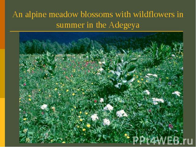 An alpine meadow blossoms with wildflowers in summer in the Adegeya