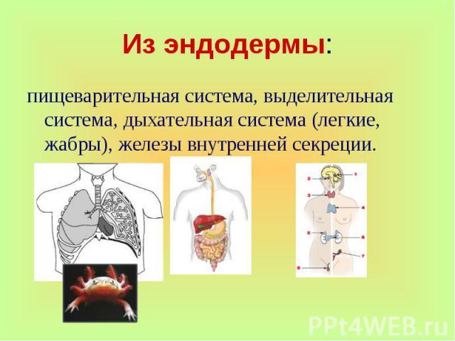 пищеварительная система, выделительная система, дыхательная система (легкие, жабры), железы внутренней секреции.