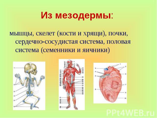 мышцы, скелет (кости и хрящи), почки, сердечно-сосудистая система, половая система (семенники и яичники)