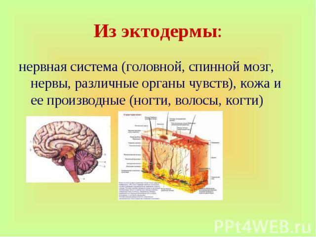 нервная система (головной, спинной мозг, нервы, различные органы чувств), кожа и ее производные (ногти, волосы, когти)