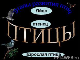 Этапы развития птицПТИЦЫвзрослая птицаЯйцоптенец