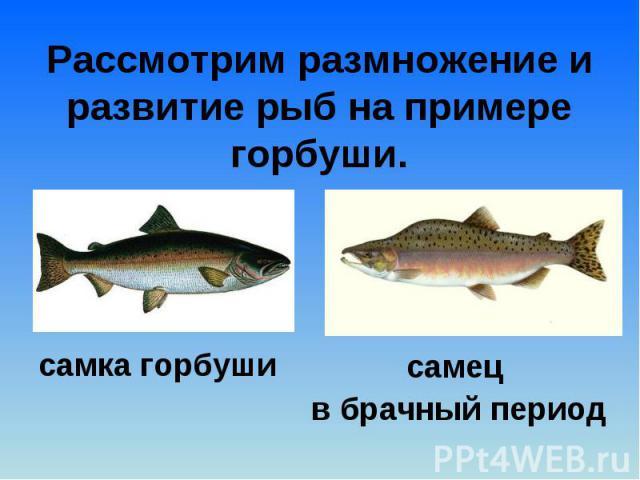 Рассмотрим размножение и развитие рыб на примере горбуши.самка горбуши