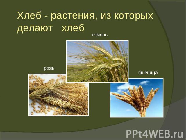 Хлеб - растения, из которых делают хлеб