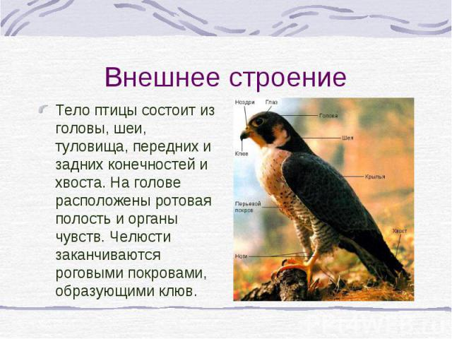Тело птицы состоит из головы, шеи, туловища, передних и задних конечностей и хвоста. На голове расположены ротовая полость и органы чувств. Челюсти заканчиваются роговыми покровами, образующими клюв. Тело птицы состоит из головы, шеи, туловища, пере…