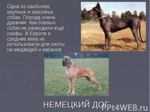 Одна из наиболее крупных и красивых собак. Порода очень древняя. Как боевых соба