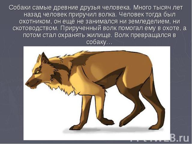 Собаки самые древние друзья человека. Много тысяч лет назад человек приручил волка. Человек тогда был охотником, он ещё не занимался ни земледелием, ни скотоводством. Прирученный волк помогал ему в охоте, а потом стал охранять жилище. Волк превращал…