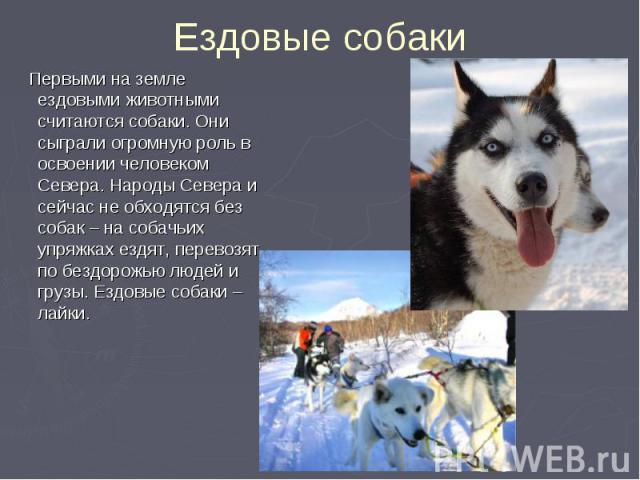 Первыми на земле ездовыми животными считаются собаки. Они сыграли огромную роль в освоении человеком Севера. Народы Севера и сейчас не обходятся без собак – на собачьих упряжках ездят, перевозят по бездорожью людей и грузы. Ездовые собаки – лайки. П…