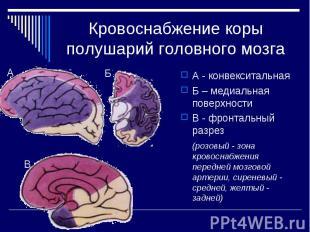 Кровоснабжение коры полушарий головного мозга А - конвекситальная Б – медиальная