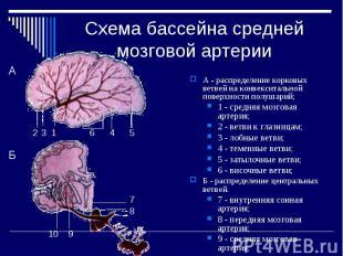 Схема бассейна средней мозговой артерии А - распределение корковых ветвей на кон