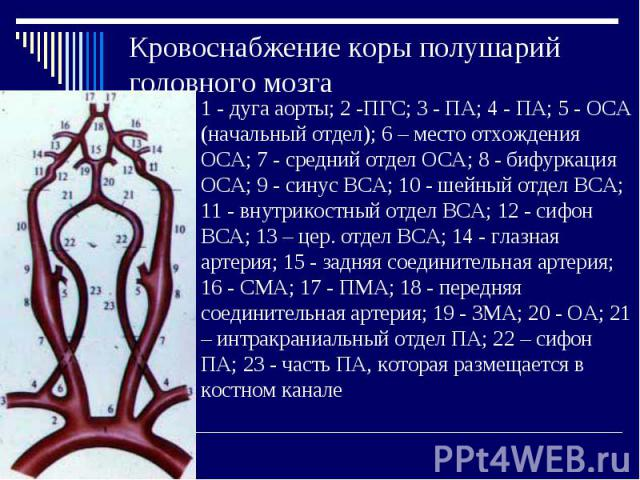 Кровоснабжение коры полушарий головного мозга 1 - дуга аорты; 2 -ПГС; 3 - ПА; 4 - ПА; 5 - ОСА (начальный отдел); 6 – место отхождения ОСА; 7 - средний отдел ОСА; 8 - бифуркация ОСА; 9 - синус ВСА; 10 - шейный отдел ВСА; 11 - внутрикостный отдел ВСА;…