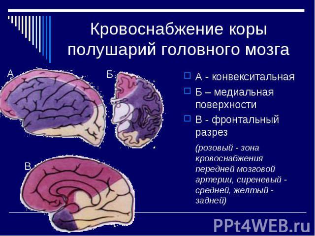 Кровоснабжение коры полушарий головного мозга А - конвекситальная Б – медиальная поверхности В - фронтальный разрез (розовый - зона кровоснабжения передней мозговой артерии, сиреневый - средней, желтый - задней)