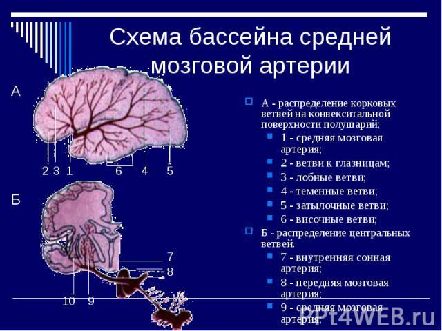Схема бассейна средней мозговой артерии А - распределение корковых ветвей на конвекситальной поверхности полушарий; 1 - средняя мозговая артерия; 2 - ветви к глазницам; 3 - лобные ветви; 4 - теменные ветви; 5 - затылочные ветви; 6 - височные ветви; …