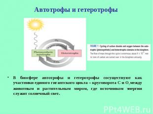 В биосфере автотрофы и гетеротрофы сосуществуют как участники единого гигантског