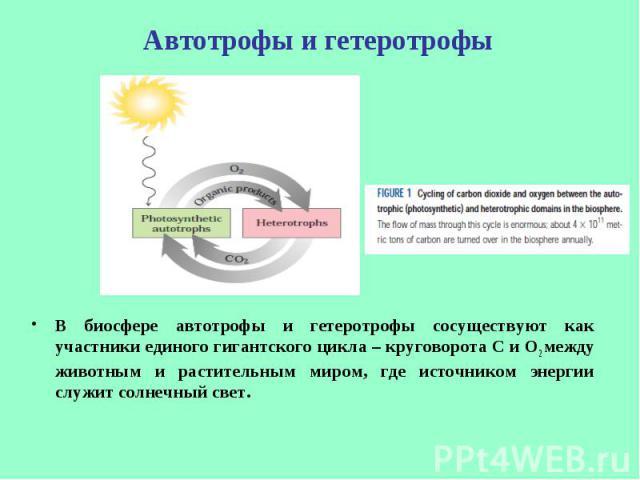 В биосфере автотрофы и гетеротрофы сосуществуют как участники единого гигантского цикла – круговорота С и О2 между животным и растительным миром, где источником энергии служит солнечный свет. В биосфере автотрофы и гетеротрофы сосуществуют как участ…